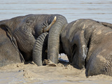 Two African Elephant (Loxodonta Africana) Playing in the Water, Addo Elephant National Park, South  Photographie par James Hager