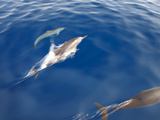 Dolphins, Maldives, Indian Ocean, Asia Photographic Print by Sakis Papadopoulos