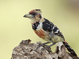 Crested Barbet (Trachyphonus Vaillantii), Kruger National Park, South Africa, Africa Photographic Print by James Hager