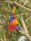 Rainbow Lorikeet, Tyto Wetlands, Ingham, Queensland, Australia, Pacific Photographic Print by Jochen Schlenker