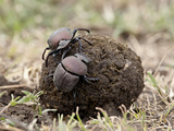 Two Dung Beetles Atop a Ball of Dung, Serengeti National Park, Tanzania, East Africa, Africa Fotoprint van James Hager