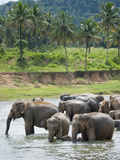Asian Elephants Bathing in the River, Pinnawela Elephant Orphanage, Sri Lanka, Indian Ocean, Asia Fotografie-Druck von Kim Walker