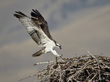 Osprey (Pandion Haliaetus) Landing on its Nest, Lemhi County, Idaho, United States of America, Nort Lámina fotográfica por James Hager