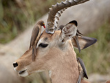Impala (Aepyceros Melampus) Buck with Red-Billed Oxpecker (Buphagus Erythrorhynchus), Kruger Nation Photographic Print by James Hager