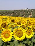 Sunflower Field Near Cordoba, Andalusia, Spain, Europe Fotografiskt tryck av Hans-Peter Merten