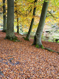 Autumn Trees and Fallen Leaves in Strid Wood, Bolton Abbey, Yorkshire, England, United Kingdom, Eur Photographic Print by Mark Sunderland