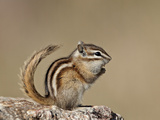 Least Chipmunk (Neotamias Minimus), Custer State Park, South Dakota, United States of America, Nort Photographic Print by James Hager