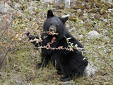 Black Bear (Ursus Americanus) Cub Eating Canadian Gooseberry Berries, Jasper National Park, Alberta Photographic Print by James Hager