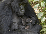 Mountain Gorilla (Gorilla Gorilla Beringei) Mother Holding Her 20 Day Old Infant Twins and Nursing  Photographic Print by James Hager