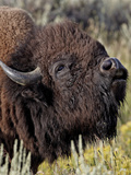 Bison (Bison Bison) Bull Demonstrating the Flehmen Response, Yellowstone National Park, Wyoming, Un Photographic Print by James Hager