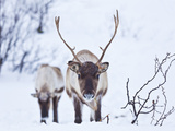 Young Reindeer (Rangifer Tarandus) Grazing, Kvaloya Island, Troms, North Norway, Scandinavia, Europ Photographic Print by Neale Clark