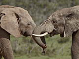Two African Elephant (Loxodonta Africana) Face to Face, Addo Elephant National Park, South Africa,  Photographic Print by James Hager