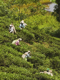 Plantation Tamil Women Picking Prized Highland Uva Tea in Namunukula Mountains Near Ella, Sri Lanka Photographic Print by Rob Francis