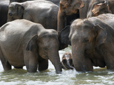 Asian Elephants Bathing in the River, Pinnawela Elephant Orphanage, Sri Lanka, Asia Photographic Print by Kim Walker