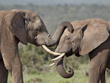 Two African Elephant (Loxodonta Africana), Addo Elephant National Park, South Africa, Africa Photographic Print by James Hager