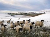 Sheep Waiting to Be Fed in Winter, Lower Pennines, Cumbria, England, United Kingdom, Europe Photographic Print by James Emmerson