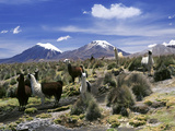 Llamas Grazing in Sajama National Park with the Twins, the Volcanoes of Parinacota and Pomerata in  Fotografisk tryk af Mark Chivers