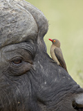 Red-Billed Oxpecker (Buphagus Erythrorhynchus) on a Cape Buffalo (African Buffalo) (Syncerus Caffer Photographic Print by James Hager