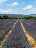 Lavender Fields around Roussillon, Parc Naturel Regional Du Luberon, Vaucluse, Provence, France, Eu Photographic Print by Peter Richardson