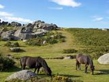 Dartmoor Ponies, Bonehill Rocks, Dartmoor National Park, Devon, England, United Kingdom, Europe Photographic Print by Jeremy Lightfoot