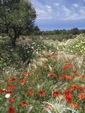 Spring Flowers, Akrotiri Peninsula, Chania Region, Crete, Greek Islands, Greece, Europe Photographic Print by Stuart Black