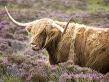 Highland Cow Grazing Among Heather Near Drinan, on Road to Elgol, Isle of Skye, Highlands, Scotland Photographic Print by Lee Frost