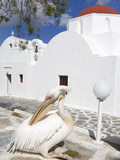 White Pelican in Mykonos Town, Island of Mykonos, Cyclades, Greek Islands, Greece, Europe Photographic Print by Richard Cummins