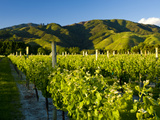 Vineyards Near Blenheim, Marlborough, South Island, New Zealand, Pacific Photographic Print by Ben Pipe