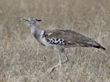 Kori Bustard (Ardeotis Kori), Kruger National Park, South Africa, Africa Photographic Print by James Hager