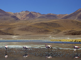 Flamingos Drinking in a Lagoon, South West Bolivia, South America Photographic Print by Simon Montgomery