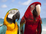 Colourful Parrots, Punta Cana, Dominican Republic, West Indies, Caribbean, Central America Photographic Print by Frank Fell