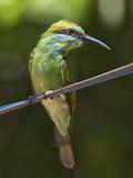 Green Bee-Eater (Merops Orientalis Ceylonicus) in Kumana National Park, Formerly Yala East, Kumana, Photographic Print by Robert Francis