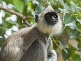 Grey (Hanuman) Langur Monkey in This Sacred Pilgrimage Town, Often Seen Begging at Temples, Katarag Photographic Print by Robert Francis