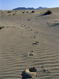 Footprints Through Sand Dunes  Near Corralejo  Fuerteventura  Canary Islands  Spain  Europe