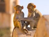 Monkeys at Tiger Fort, Jaipur, Rajasthan, India, Asia Fotografisk tryk af Ben Pipe