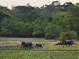 Elephants and Spotted Deer at Twilight in Kumana National Park, Formerly Yala East, Kumana, Eastern Photographic Print by Robert Francis