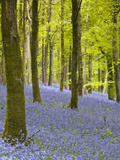 Bluebells, Delcombe Wood, Dorset, England, United Kingdom, Europe Photographic Print by Julian Elliott