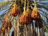 Date Palms, Douz, Kebili, Tunisia, North Africa, Africa Stampa fotografica di  Godong