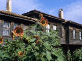 Sunflowers Outside Typical Wooden Houses, Nesebur (Nessebar), Black Sea Coast, Bulgaria, Europe Photographic Print by Stuart Black