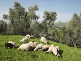 Sheep in Olive Grove, Patsos, Rethimnon (Rethymno) Region, Crete, Greek Islands, Greece, Europe Photographic Print by Stuart Black