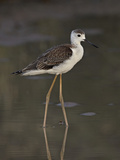 Immature Black-Winged Stilt (Himantopus Himantopus), Kgalagadi Transfrontier Park, Encompassing For Photographic Print by James Hager