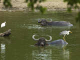 Great Egret, Grey Heron and Buffalo in a Pond at Kumana National Park, Formerly Yala East, Kumana,  Photographic Print by Robert Francis