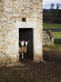 Two Sheep in a Field Barn Near Aysgarth, Yorkshire Dales, England, United Kingdom, Europe Photographic Print by Mark Sunderland