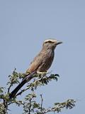 Rufus-Crowned Roller (Purple Roller) (Coracias Naevia), Kgalagadi Transfrontier Park, Encompassing  Photographie par James Hager