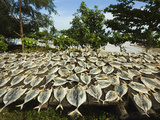 Fish Drying in the Sun at This South Coast Fishing Bay and Resort, Weligama, Near Matara, Southern  Lmina fotogrfica por Robert Francis