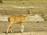 Sri Lankan Axis Deer or Ceylon Spotted Deer in Kumana National Park, Formerly Yala East, Kumana, Ea Photographic Print by Robert Francis