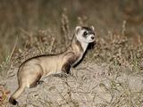 Black-Footed Ferret (American Polecat) (Mustela Nigripes) with Treated by Wildlife Biologist, Buffa Photographic Print by James Hager