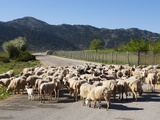 Sheep on Road, Omalos Plain, Chania Region, Crete, Greek Islands, Greece, Europe Photographic Print by Stuart Black