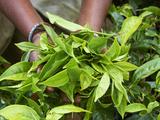Tea, Tea Plantations, Munnar, Kerala, India Fotodruck von  Tuul