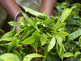 Tea, Tea Plantations, Munnar, Kerala, India Fotografie-Druck von  Tuul